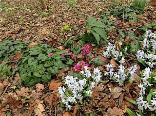 Philippusfenne, Kleine cyclamen (Cyclamen coum) en Witte sterhyacint (Scilla miczenkoana)