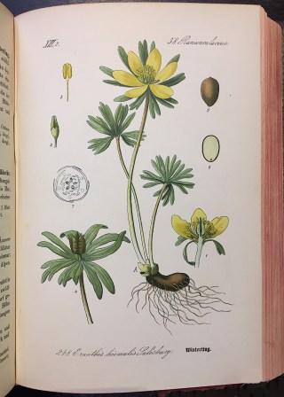 Prof. Dr. Thomé, Flora von Deutschland, Österreich und der Schweiz, Köln 1886.