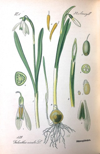 Thomé, Flora von Deutschland, 1886,