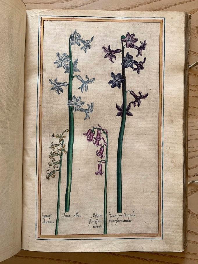 Vallet, Jardin du Roi 1608 Hyacint