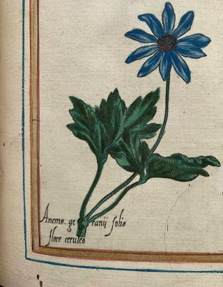 Blauwe anemoon, Vallet, Roy chrétien, 1608