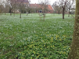 Snowdrops and Winter Aconites at The Weem in Warffum.