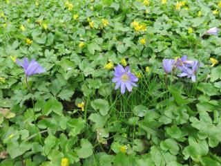 Blauwe anemoon in volle bloei op Jongemastate.