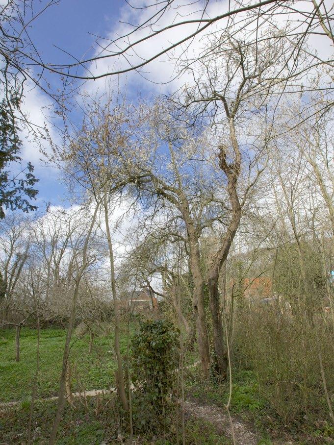 Boomgaard met bloeiende pruimenboom