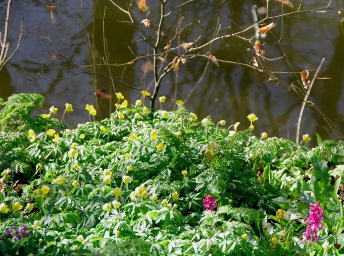 Gele anemoon met een paar Holwortels bij Dekema.