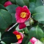 Kamelienblüte in Pillnitz