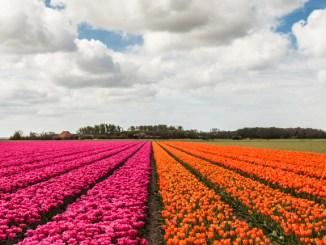 tulpen-header