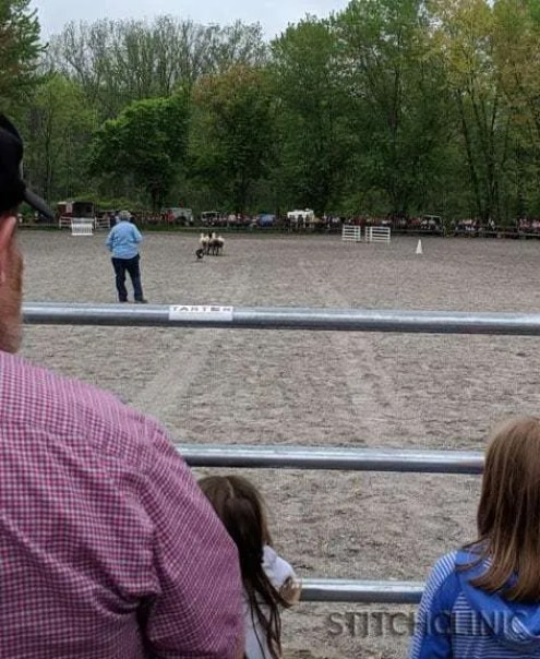 Border Collies demonstrating their skills on some unsuspecting sheep - Maryland Sheep and Wool Festival