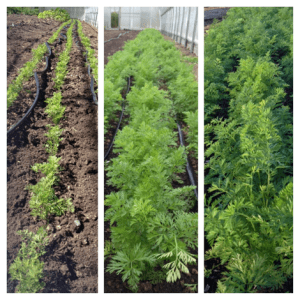 Photo 1: Carrots on my first day, stems barely 2 inches above the ground, 9/26/13.  Photo 2: Carrots 18 days later, 9-10 inches in height, 10/15/13.  Photo 3: Carrots still growing, there isn't much room between the rows, 10/23/13.