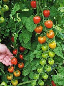 tomatoberry_vine