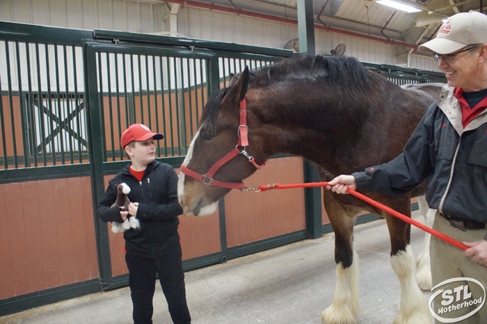 anheuser-busch Clydesdale