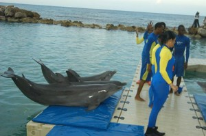 Dolphin trainers at the popular Dolphin Cove attraction in Ocho Rios, St. Ann getting ready to do morning practice drills at the facility.
