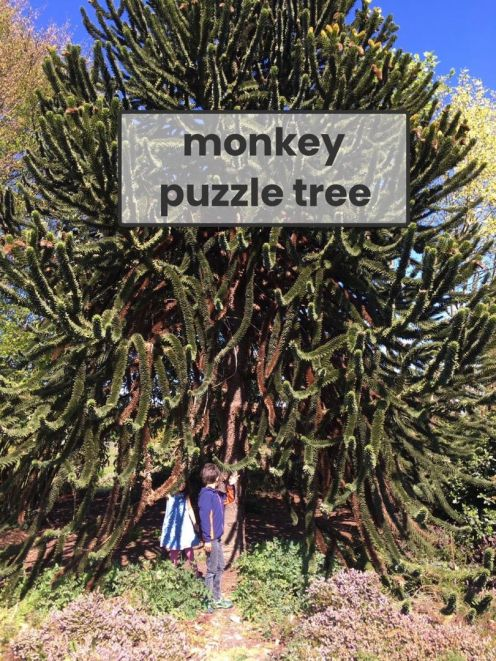 monkey puzzle tree Alex