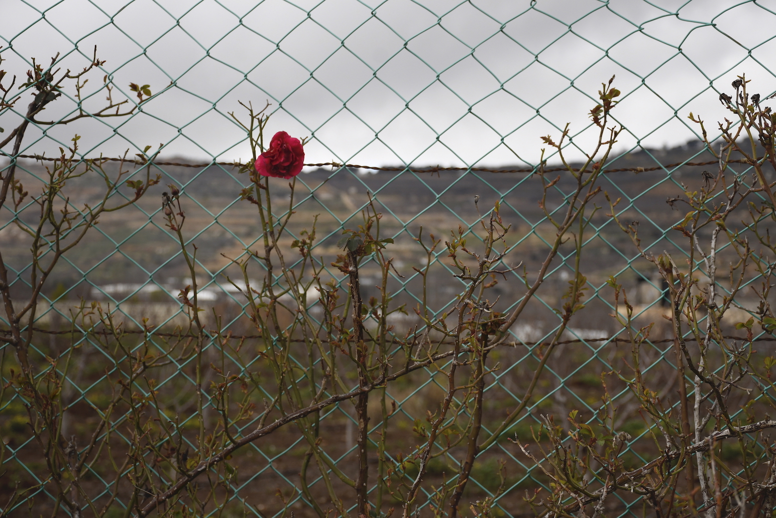 Photo of a rose growing through a wire fence