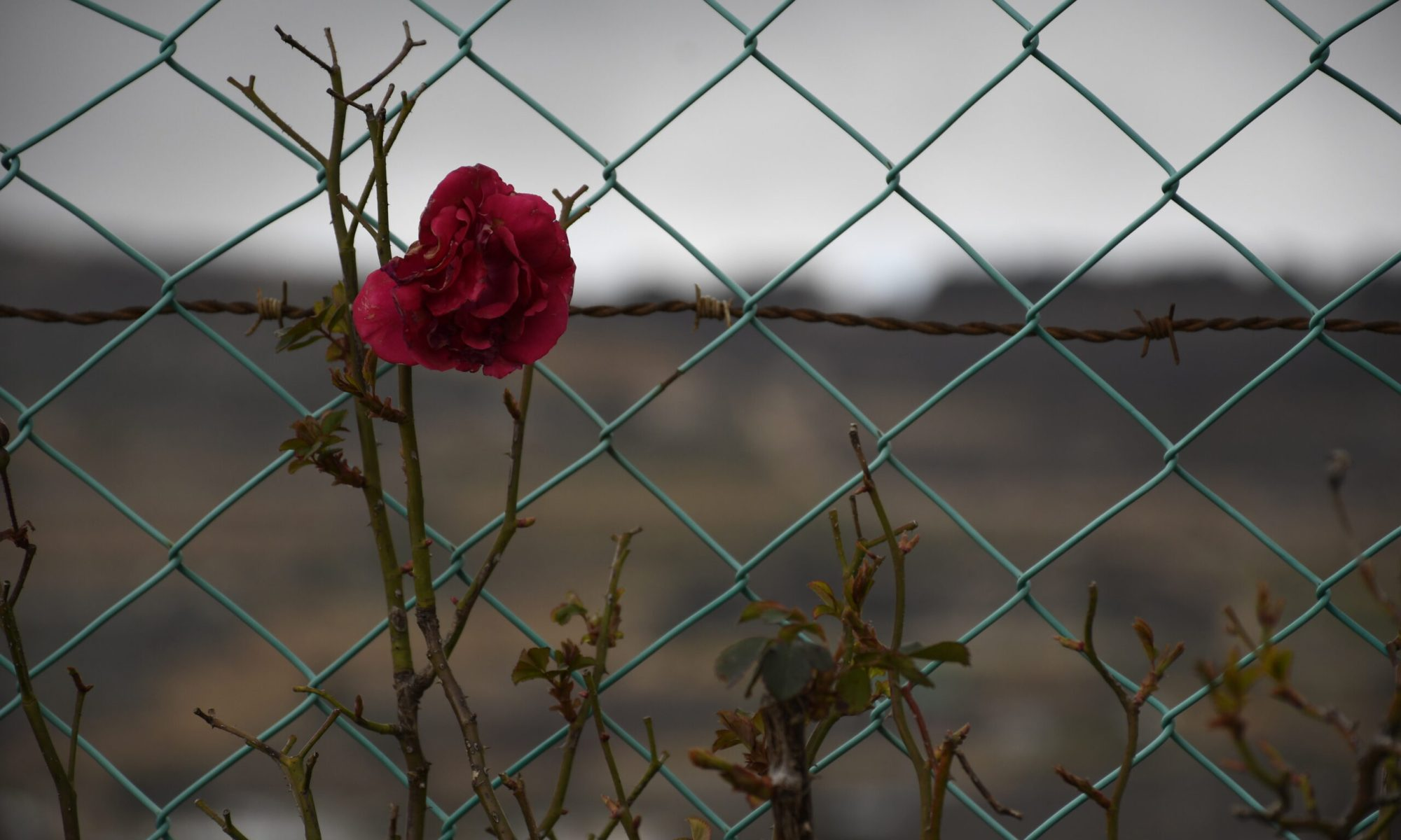 Rose blooming on a wire fence