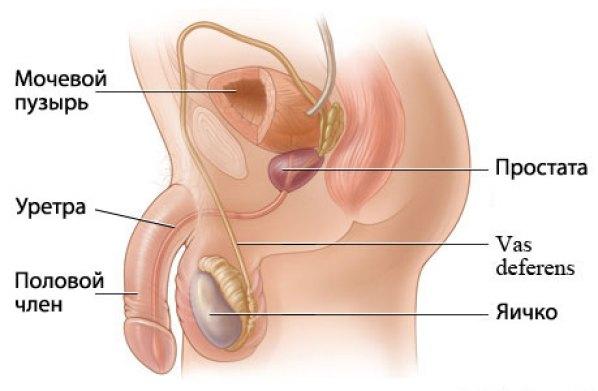 Что такое простата и где она находится?
