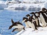 Adélie penguins diving