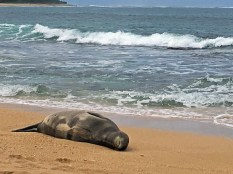 Just an endangered monk seal relaxing on the beach.