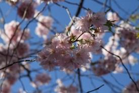 цветущая сакура в Королевском саду в Стокгольме