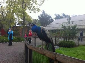 павлин в парке скансен в Стокгольме