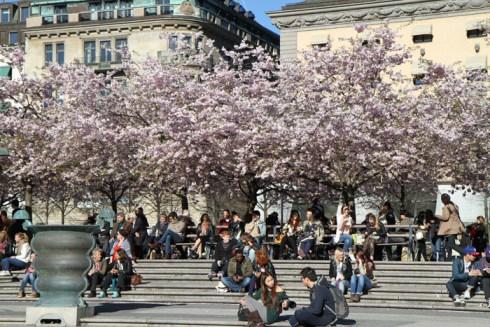 фото цветущей сакуры в апреле из стокгльма