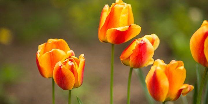 bicolor tulips free stock image