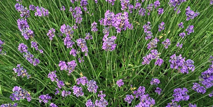 free stock image of lavender