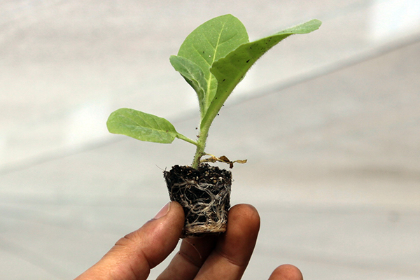 Tobacco Seedling