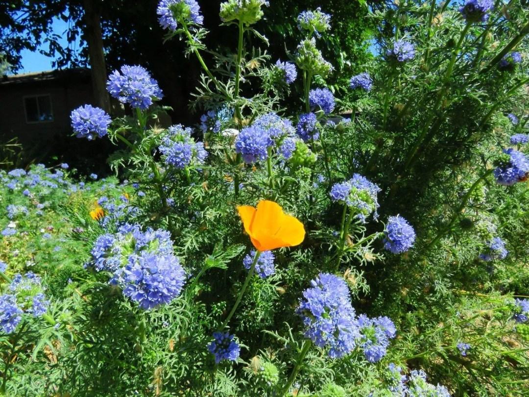 native california garden