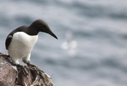 Guillemot contemplating jumping