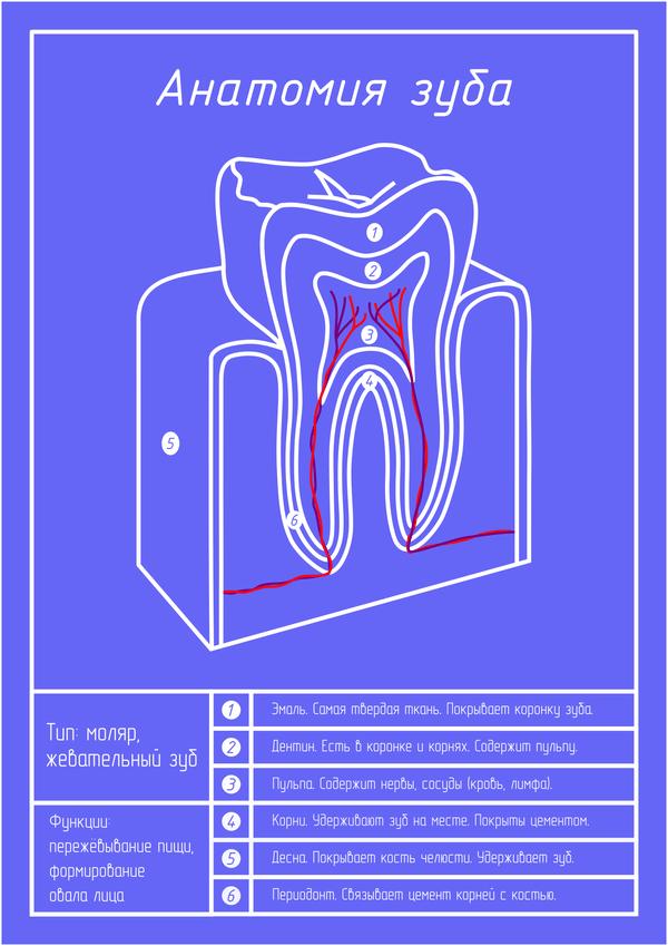 Анатомия зуба блюпринт