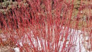 Dogwood – Cardinal #2