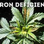 boron deficiency in cannabis plant,how to fix boron deficiency in cannabis plant,