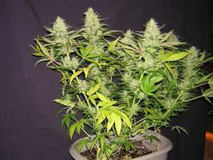 nitogen-deficient-flowering cannabis plant