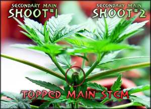 topping your cannabis plant