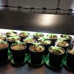 veg cannabis plants