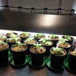 veg cannabis plants