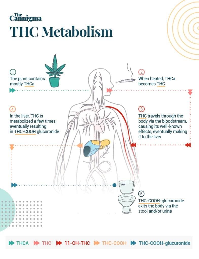 THC metabolism diagram
