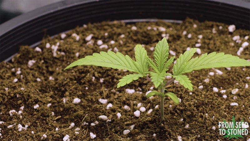 Marijuana plant vegetative stage