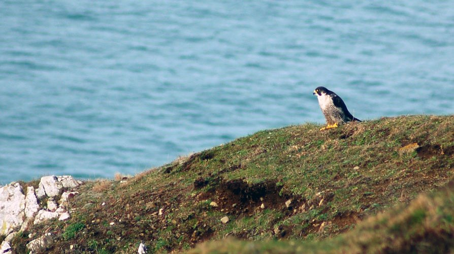 Peregrine Falcon near Stones Cottages another resident of the local area.