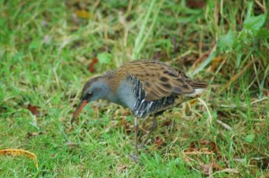 Bird spotting holidays at Stones Cottages. Water rail at Stones Cottages feeding on the lawn by the willow hedge