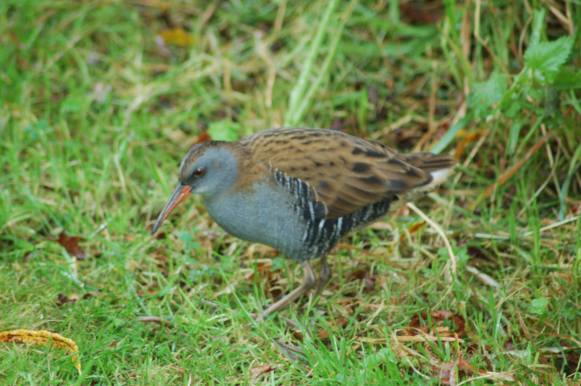 Water rail at Stones Cottages feeding on the lawn by the willow hedge