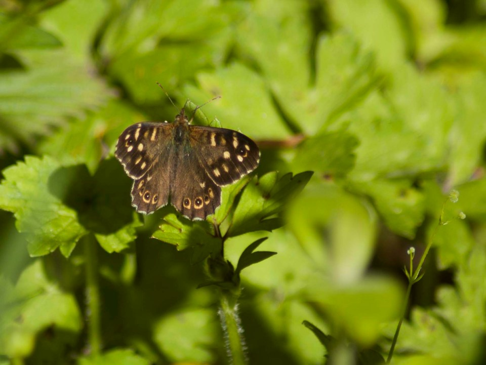 We think that this is a Speckled Wood (Pararge aegeria). Photo taken walking around Stones Cottages.