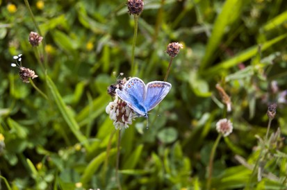 Common Blue female butterfly on white clover in holiday cottage flower meadow