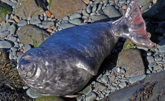 Happy looking seal at Strumble Head North Pembrokeshire.