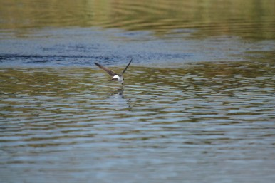 Bird spotting holidays at Stones Cottages. House Martin skims the pond after insects