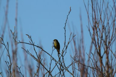 Bird spotting holidays at Stones Cottages. Greenfinch