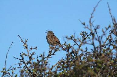 Bird spotting holidays at Stones Cottages. Dunnock