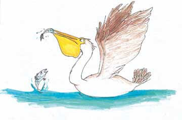 A Walk Down the Ocean a pelican catches a fish