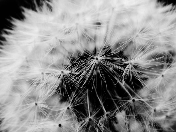 Dandelion in Black and White